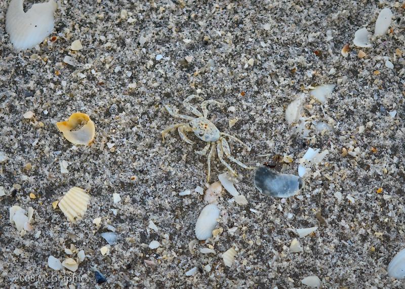 Crab on the beach Boca Grande